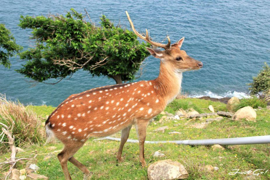 台灣 - 馬祖旅遊必去景點·大坵島·梅花鹿大量出沒-2019交通船班、住宿、美食10